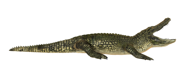 Alligator Png (104+ images in Collection) Page 1.