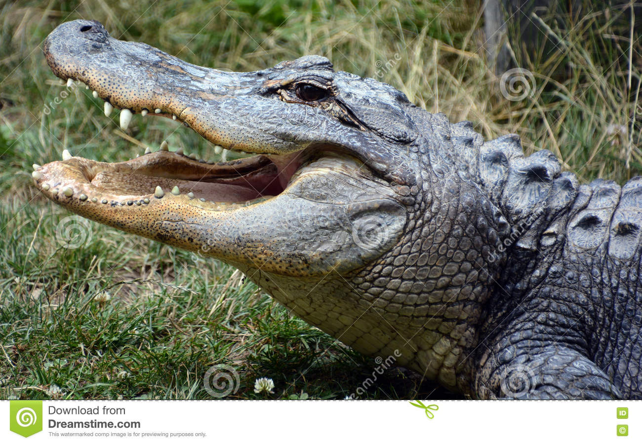 An Alligator Stock Photo.