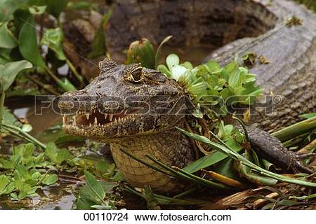 Stock Photo of afield, Caiman, Juniors, Crocodylia, Caiman.