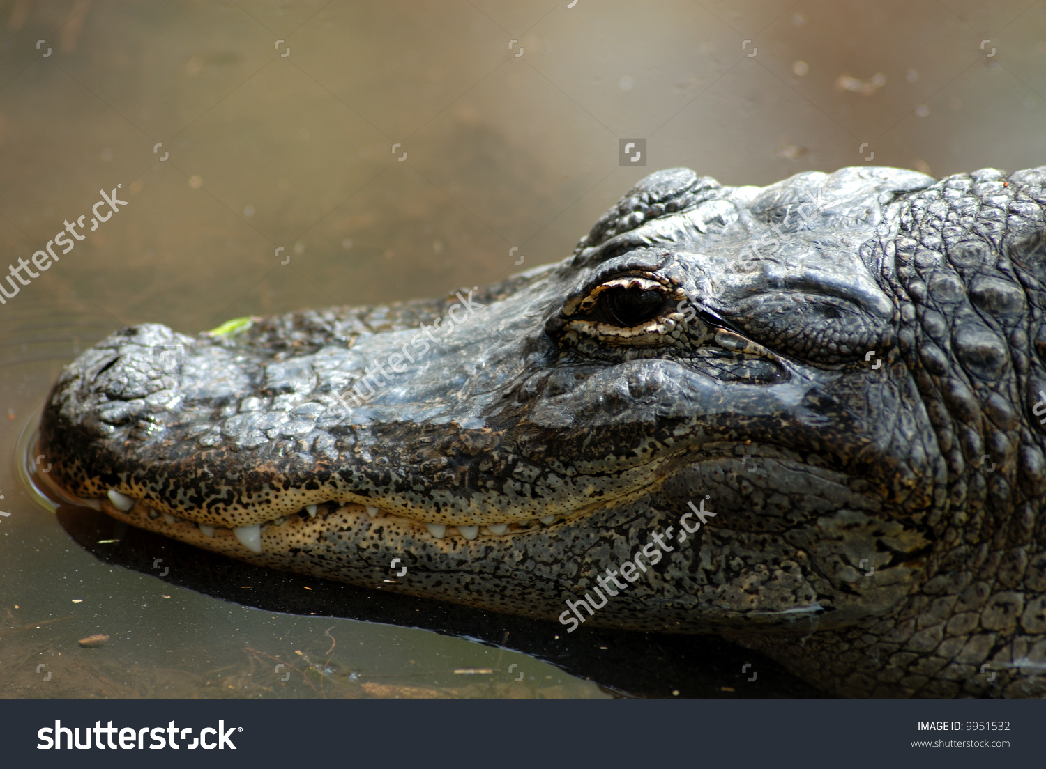 A 10 Foot Long Alligator; (Alligator Mississippiensis, Genus.