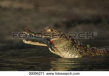 Stock Photography of alligator, Caiman, Juniors, Crocodylia.