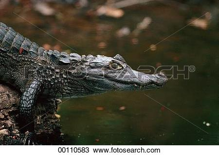 Stock Photo of East, Brazil, Crocodylia, Caiman latirostris.