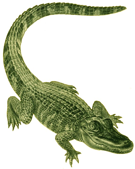 Animals And Birds: Alligator Profile & Images.