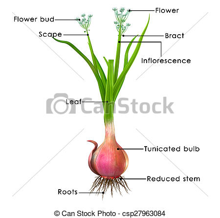 Allium Illustrations and Stock Art. 155 Allium illustration and.