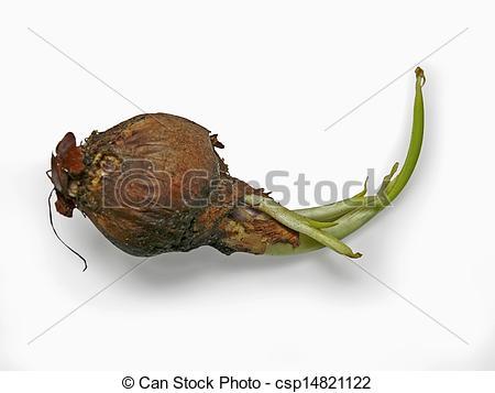 Stock Photo of Rotten Onion, Allium cepa, Common vegetable.
