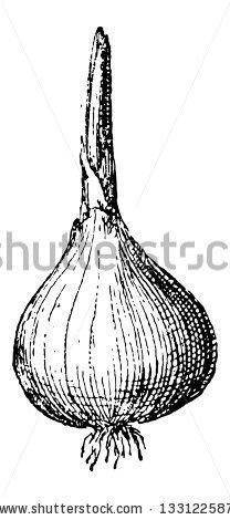 Allium Cepa Stock Vectors & Vector Clip Art.