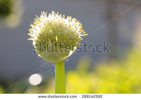 Allium Fistulosum Stock Photos, Royalty.
