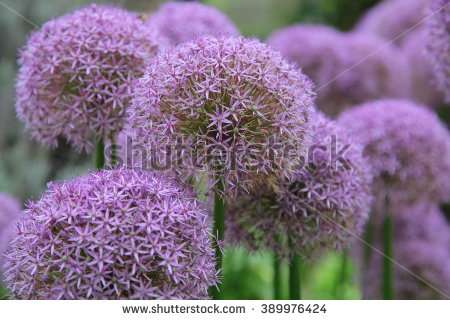 Allium Stock Images, Royalty.