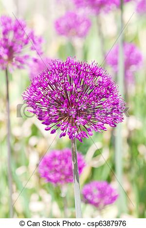 Stock Image of Giant Onion (Allium Giganteum) blooming in a garden.