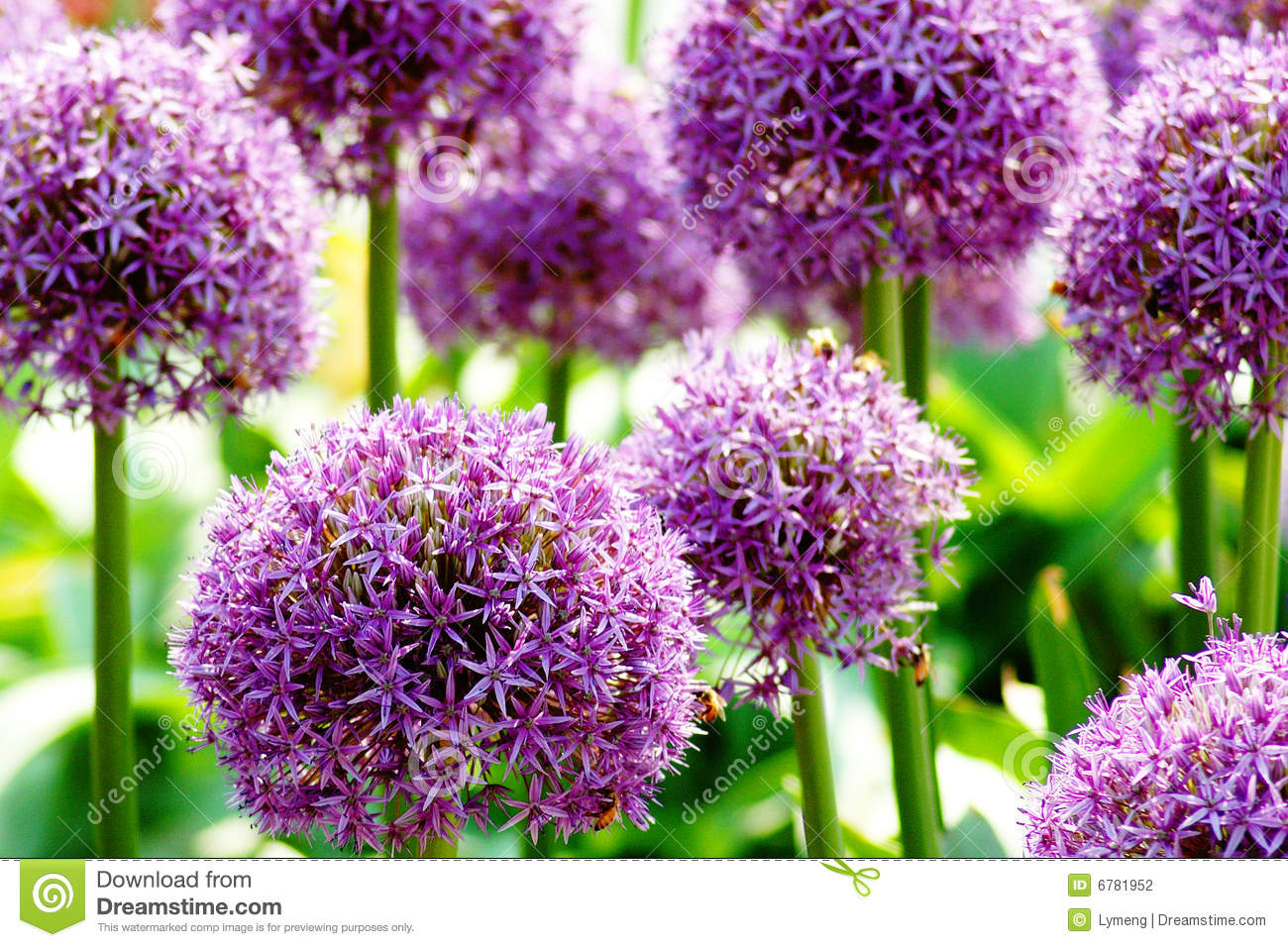 Allium Giganteum Royalty Free Stock Photography.