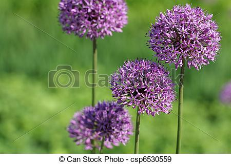Stock Photographs of Allium Giganteum Flowers.