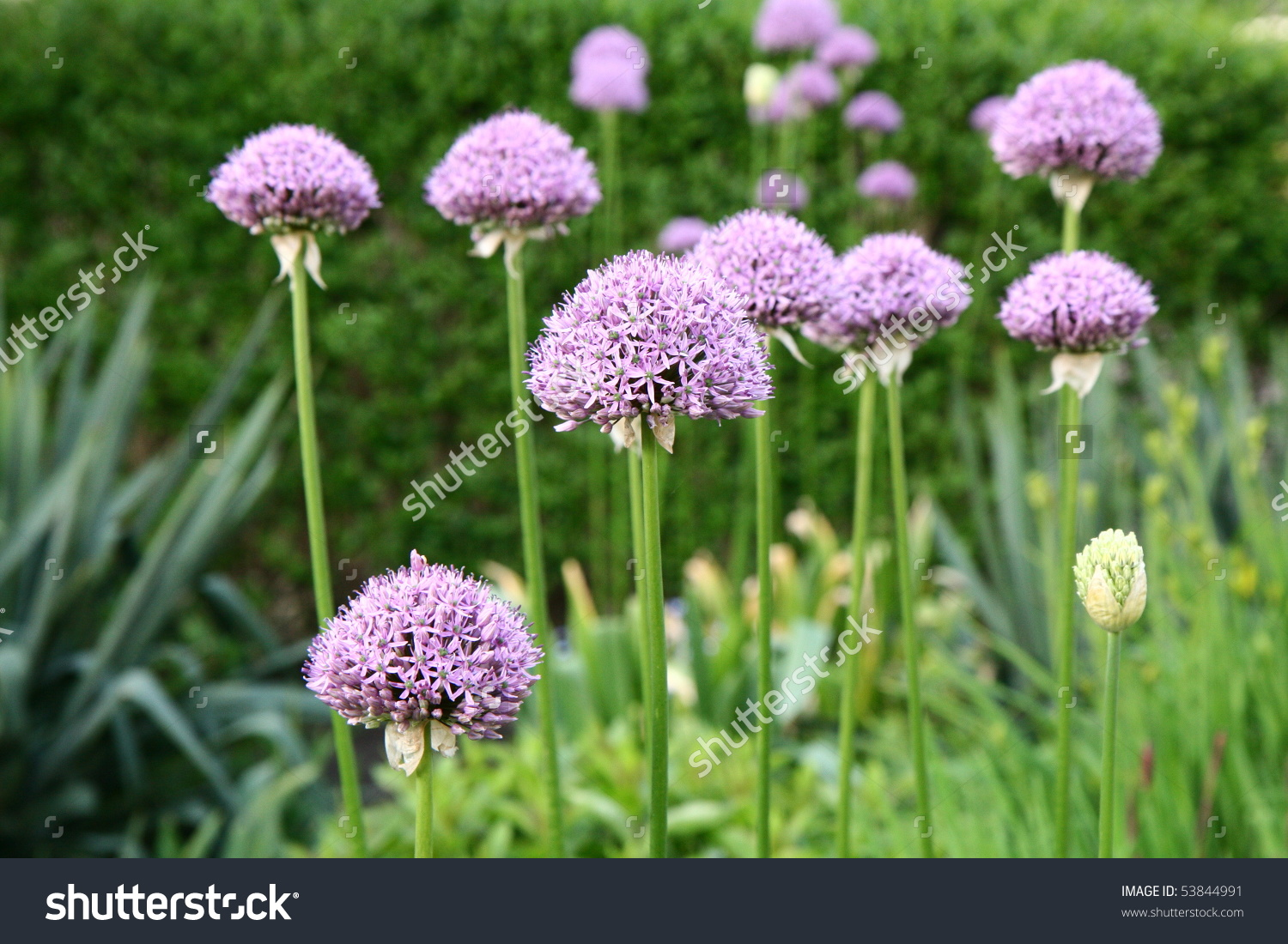 Giant Onion (Allium Giganteum) Blooming In A Garden Stock Photo.