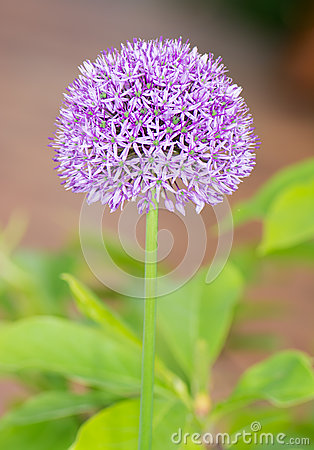 Giant Onion (Allium Giganteum) Flowers In The Flower Vase On Tab.