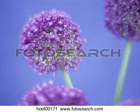 Stock Photography of Allium giganteum, close.