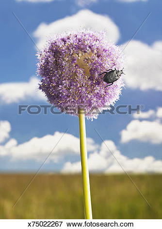 Picture of Ornamental Onion flower, (Allium Giganteum). x75022267.