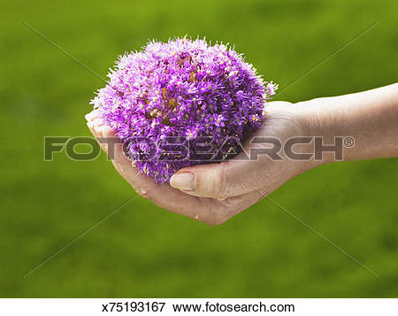 Picture of Ornamental Onion flower, (Allium Giganteum). x75193167.