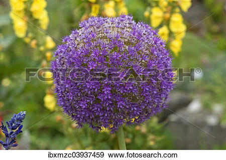 "Stock Photograph of ""Flower of a Giant Onion or Giant Allium."
