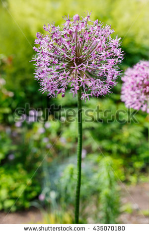 Allium Stock Photos, Royalty.