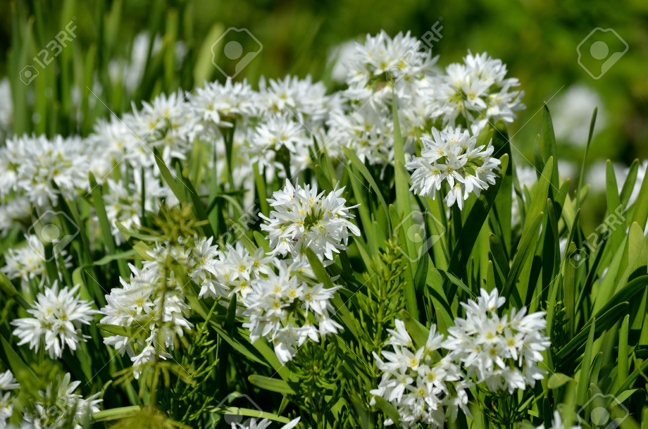 Allium Narcissiflorum White Wild Onion Native To Southern France.