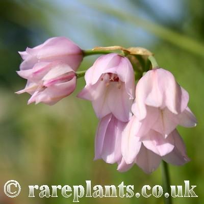 Allium narcissiflorum JJA.134.100.