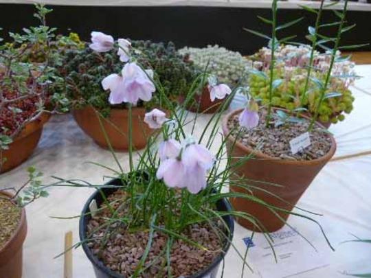 Allium narcissiflorum. : Grows on You.