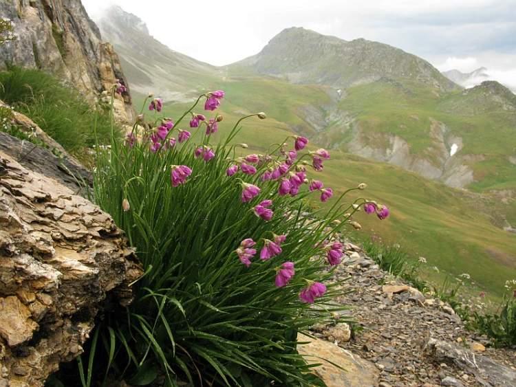 Allium narcissiflorum [Aglio a fiori di narciso].