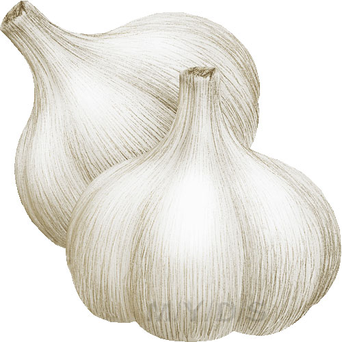 Garlic, Allium Sativum clipart / Free clip art.