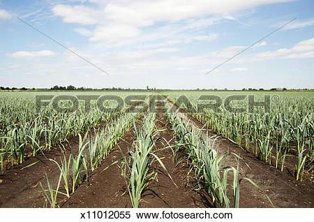 Stock Image of Leeks (Allium porrum) growing in rows in field.