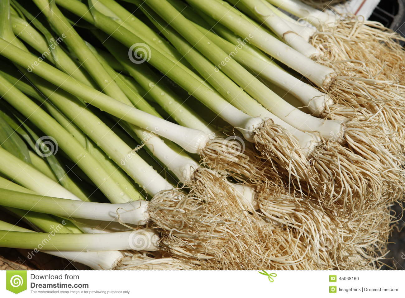 Planting Garlic (Allium Sativum) Stock Photo.