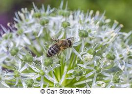 Stock Photo of allium sphaerocephalon flowers csp8779132.