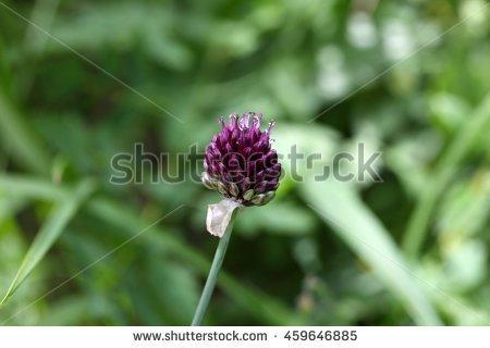 """onion_flower_head"""" Stock Photos, Royalty."""