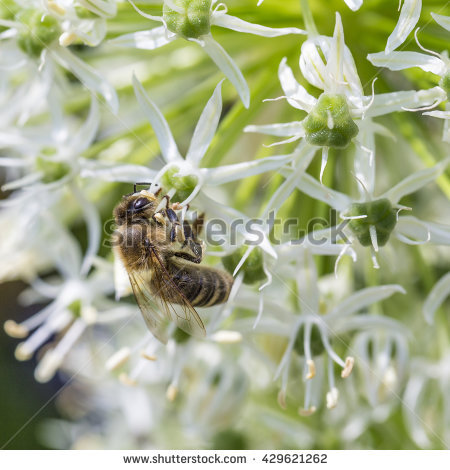 Drumstick Allium Stock Photos, Royalty.