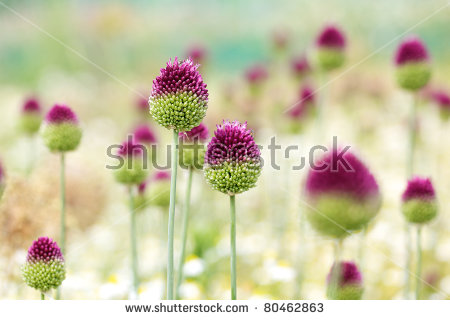 Allium Flower Stock Photos, Royalty.