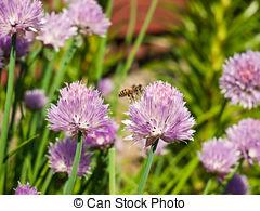 Stock Images of Bees on Allium sphaerocephalon. Allium Drumstick.