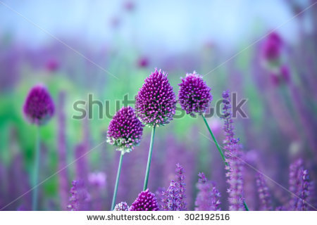 Allium Stock Photos, Royalty.