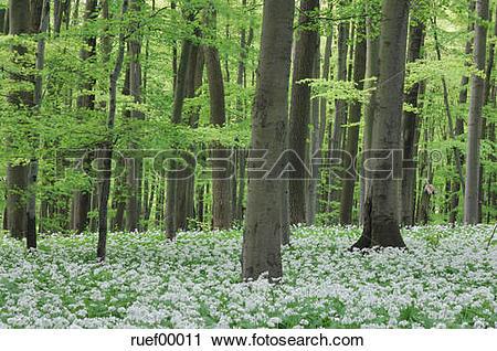 Stock Photography of Wild Garlic (Allium ursinum) in Beech Wood.