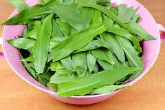 Wild Garlic (Allium Ursinum) Stock Images.