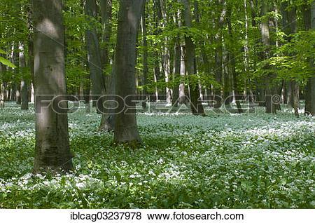 """Pictures of """"Ramsons, wild garlic (Allium ursinum), in flower, in."""