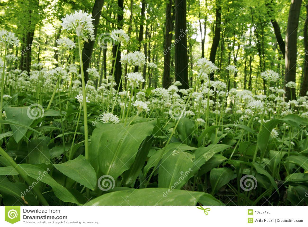 Ramsons (Allium Ursinum) Stock Photo.