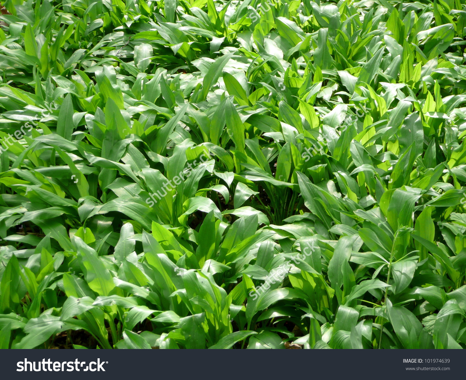Ramsons Allium Ursinum Buckrams Wild Garlic Stock Photo 101974639.