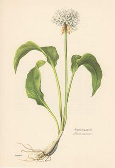 Allium ursinum clipart #9