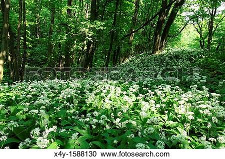 Stock Photography of Wild garlic Allium ursinum flowering in the.