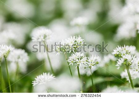 Allium Ursinum Stock Photos, Royalty.