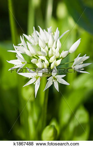 Pictures of Wild garlic (Allium ursinum) k1867488.