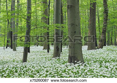 Picture of Ramsons (Allium ursinum) in beech forest. x75260087.