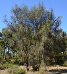 Ficus Nitida.