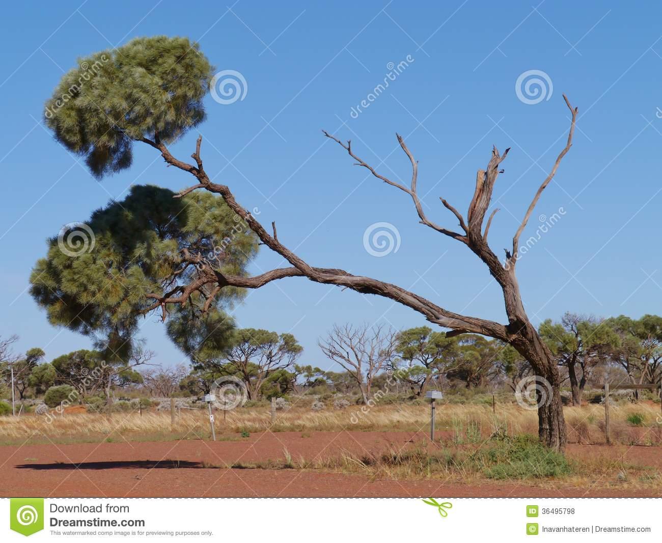 Desert Oak Royalty Free Stock Images.