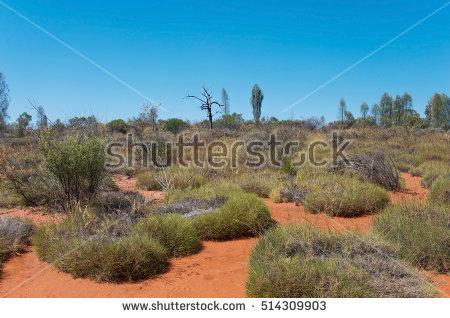 Desert Oak Stock Photos, Royalty.