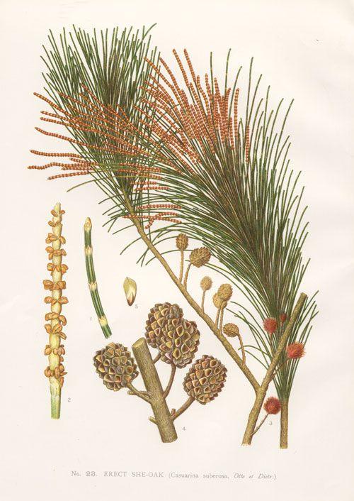 1000+ images about Australian Flora. on Pinterest.