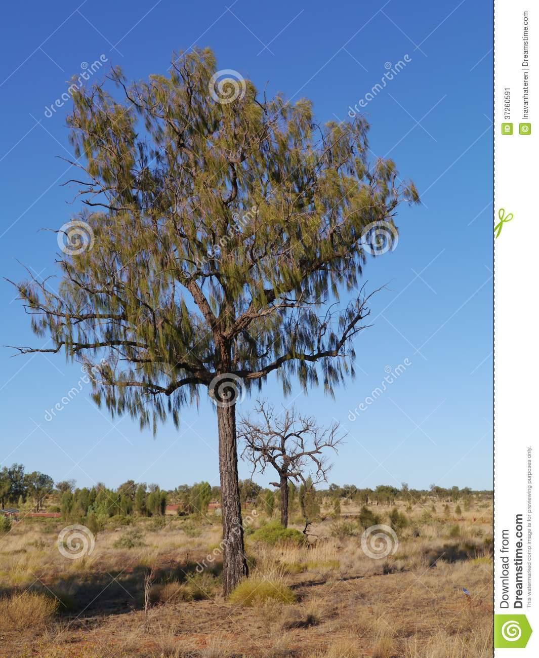 Desert Oak In The Outback Of Australia Stock Image.